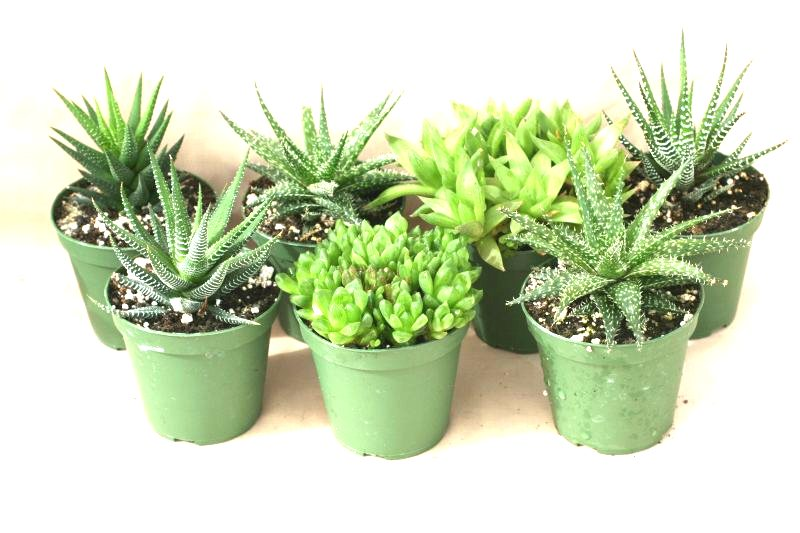 "3"" Haworthia assortment"